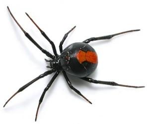 Motivi per non trasferirsi in Australia - ragni